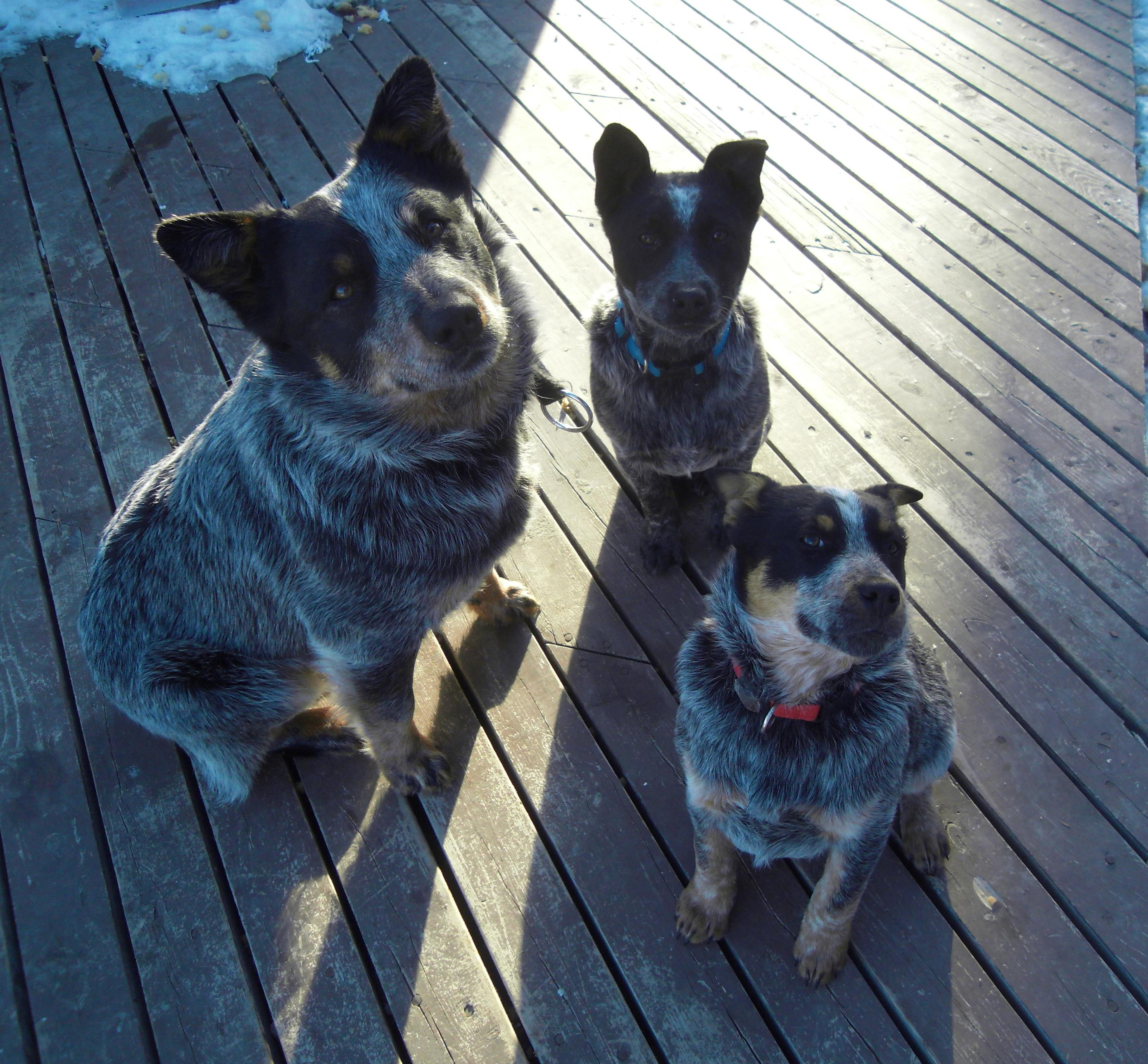 Blue Heeler Colors