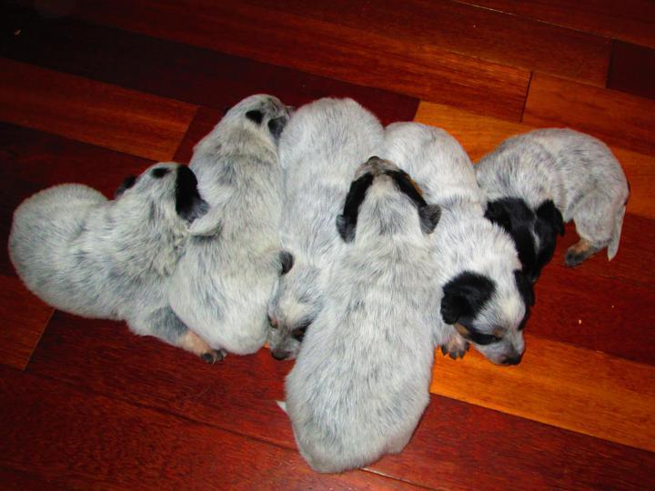 Blue Heelers For Sale : Blue heeler dogs raised in western canada saskatchewan