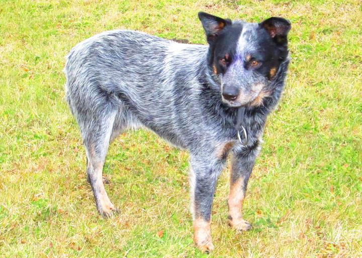 Blue Heelers For Sale : Blue heeler puppies for sale tubby