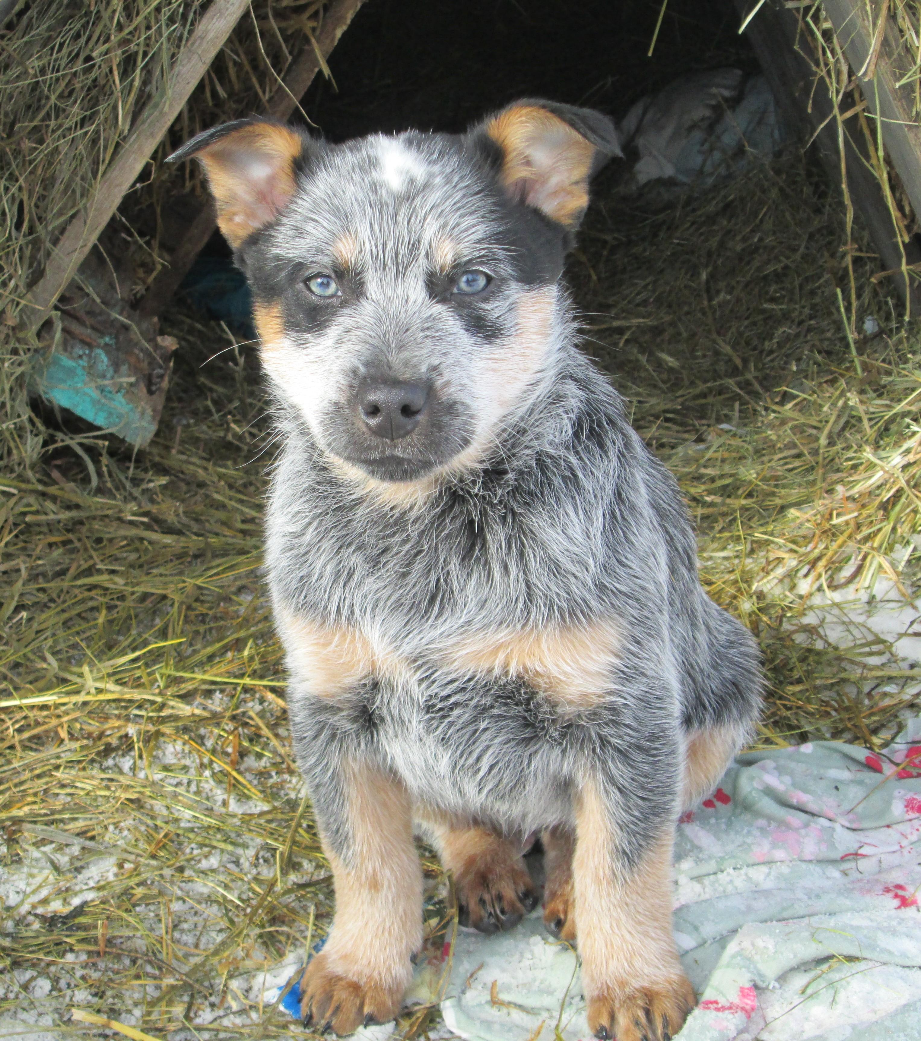 Blue Heeler Dogs Raised in Western Canada Saskatchewan